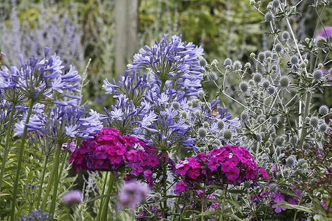 Lezing Agapanthussen en Alliums